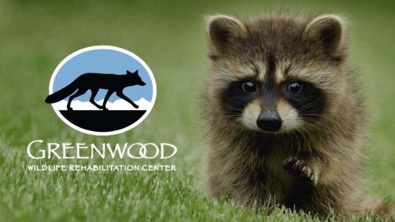 Greenwood Wildlife Rehabilitation Center logo next to a baby raccoon